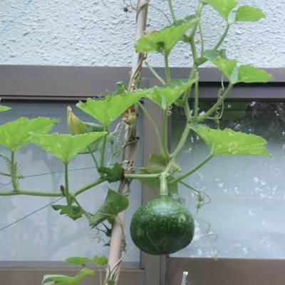Pumpkin2012.JPG