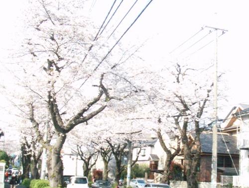 Sakura2019-01.JPG