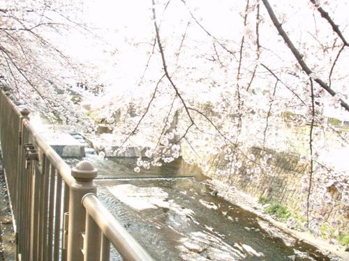 Sakura2019-03.JPG